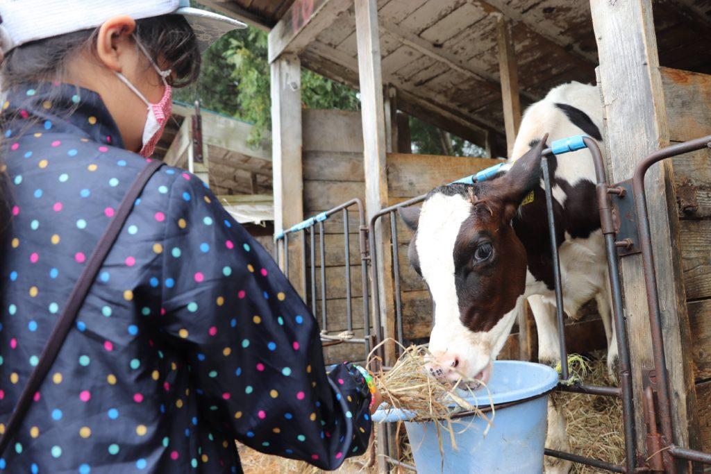 むらかみ牧場で子どもが子牛に餌やりしている様子