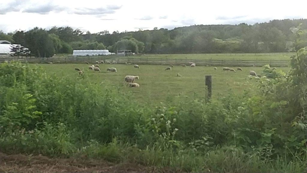 えこりん村の羊